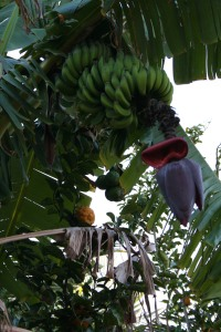 Bananas on a tree at the family farm
